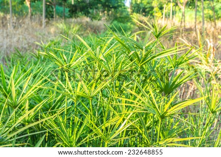 view of papyrus plants and dry grass - stock photo