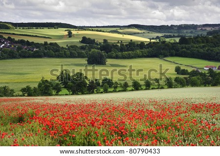 View of poppies in wheat field in English countryside landscape - stock photo
