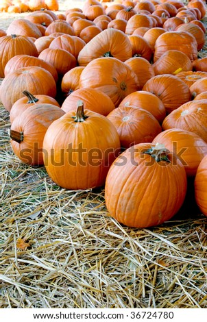 View of pumpkin patch in fall-shallow depth of field - stock photo