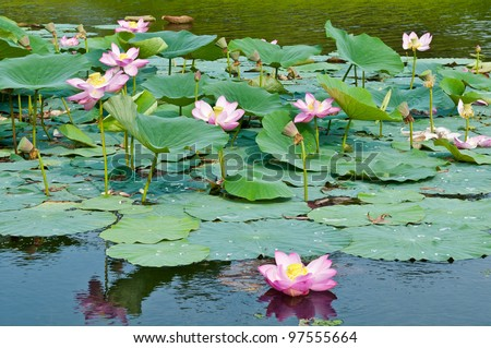 View of quiet backwater lake with lotuses Komarov relict Tertiary species can be found on the Far East Russia. According to Hinduism the lotus is the foremost symbol of beauty prosperity and fertility - stock photo