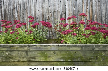 View of Red Sedum blooming in large, rustic outdoor flower box. - stock photo