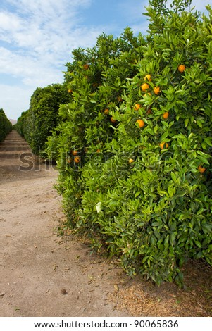view of ripe oranges of plantation - stock photo