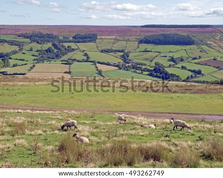 View of Rosedale in the North York Moors National Park, North Yorkshire, England, with heather in bloom on the moor above