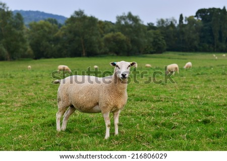 View of Sheep in a Green Field - stock photo