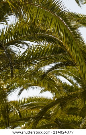 View of some date palm trees against a blue sky. - stock photo