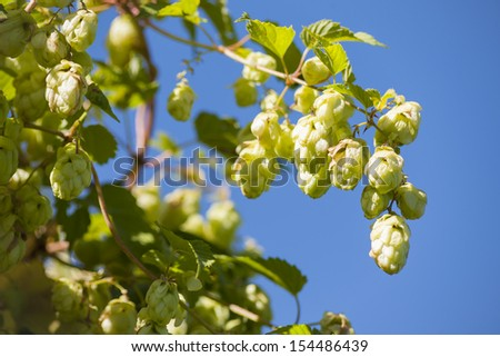 View of some hop cones and the leaves of hop. - stock photo