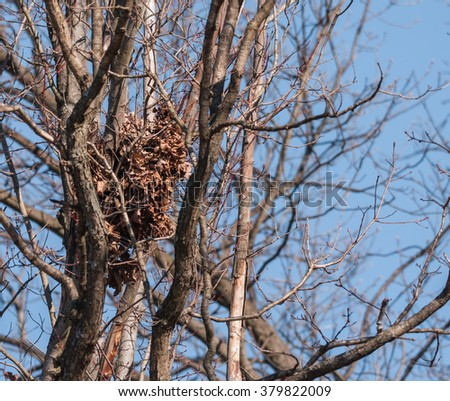 View of squirrel nest, sunny winter day (no tree leaves) amongst tangle of tree limbs.