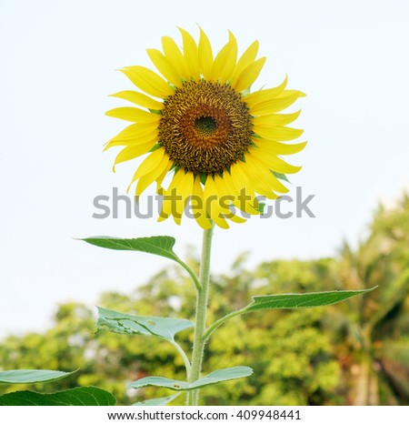 View of sunflower in the morning.