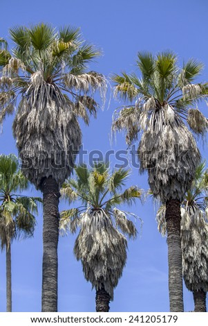 View of tall palm trees located in the Tropical Botanical garden of Lisbon, Portugal. - stock photo