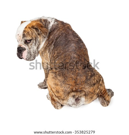 View of the back of a large Bulldog breed dog with hair loss from a Demodectic mange infection - stock photo