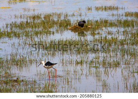 View of the black-winged stilt in the Soca River Mouth - Italy - stock photo