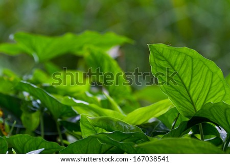 view of the dense vegetation and large leaves in the rain forest of Belize