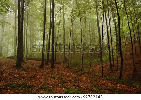 View of the mountain beech forest in the fog - stock photo