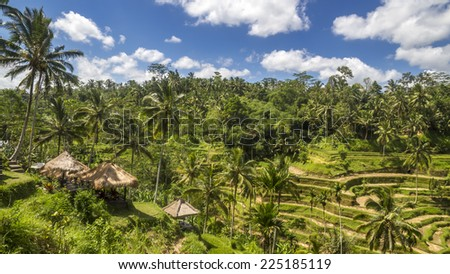 View of the path in rice fields in Bali, near Ubud with coconut palm trees and nice summer sky with clouds, Indonesia