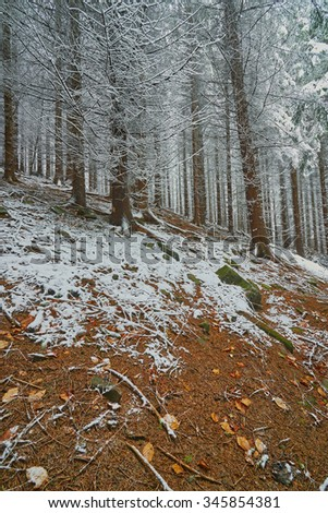 View of the winter spruce forest in late autumn - stock photo