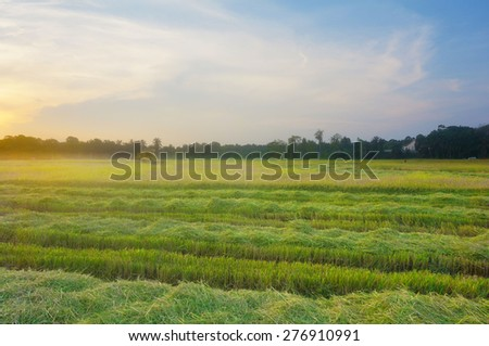 View of tropical paddy field during sunset. - stock photo