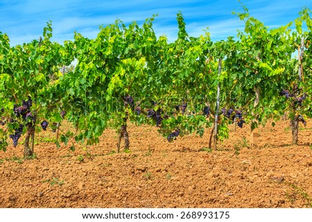 View of vineyard row,with bunches of ripe red wine grapes - stock photo