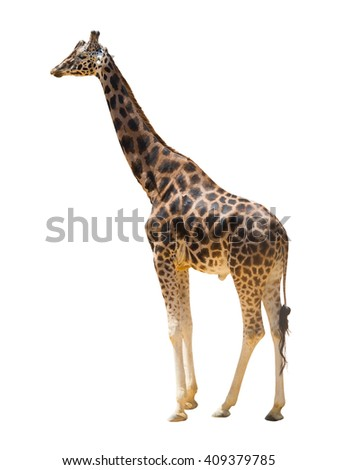 view of walking giraffe. Isolated over white background