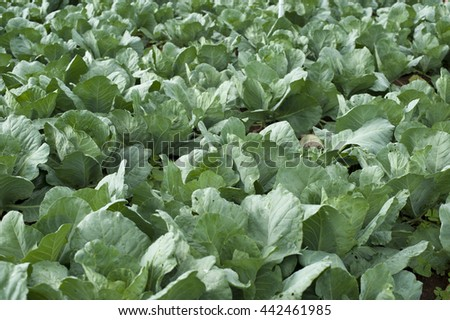 view of well ripe chinese cabbage field