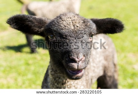 View of young lamb from Shropshire sheep breed in welsh meadow - stock photo