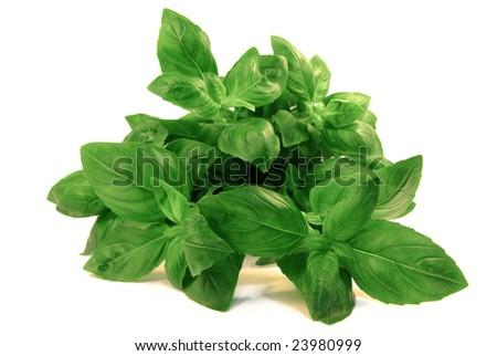 View on a fresh basil bouquet over white background. - stock photo