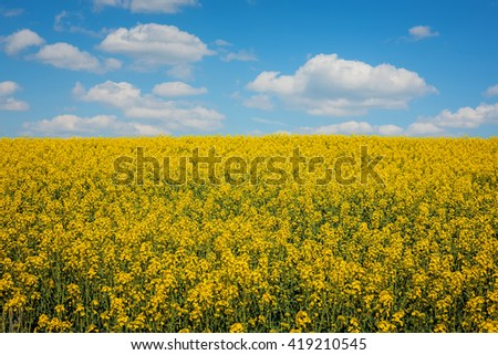 View on a fully blossoming canola field - stock photo