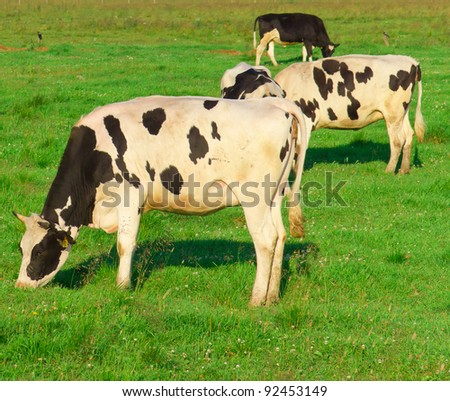 View On a meadow Cows