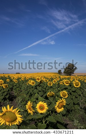 View on beautiful bright sunflower meadow in sunlight