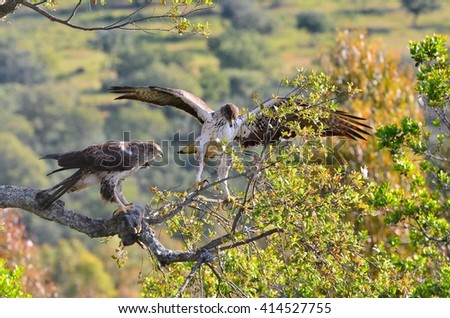 View on beautiful wild Bonelli's eagle couple on tree branch in sunlight - stock photo