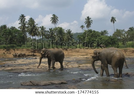 View on big indian  elephants in river exotic asia park in Sri Lanka
