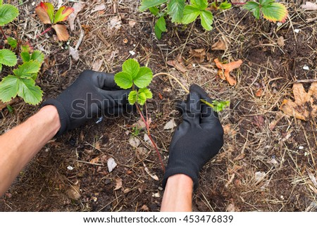 view on gardener hands in protective gloves planting new strawberry plant from fresh runner into soil
