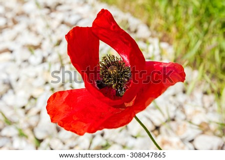 View on one beautiful bright red poppy flowers in spring. - stock photo