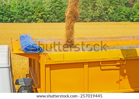 view on process of pouring wheat grains in tipper at harvesting - stock photo