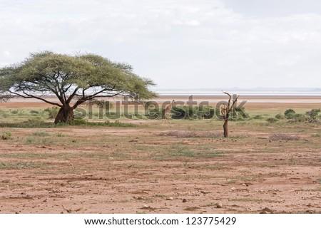 View on savanna plain with acacia growth and alone giraffe against cloudy sky background. Lake Manyara National Park, Tanzania, Africa. - stock photo