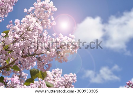 View on the pink flowers of the lilac - with space for text or other ideas - stock photo