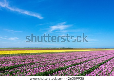 View over fields with white, purple and yellow tulips on Texel