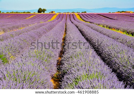 view south of france provence in flowered hills of fragrant purple lavender