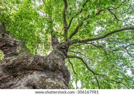 View up a beautiful old plane tree with its green leaves and strangely shaped trunk - stock photo