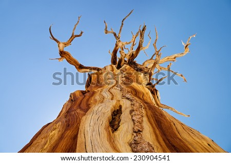view up at a dead weathered pine tree with a few branches and blue sky background - stock photo