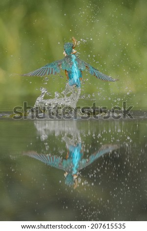 Viewed from behind, a female Kingfisher leaving the water after a successful dive with her back to the camera. - stock photo