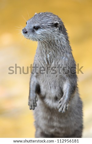Vigilant Asian Small-clawed Otter (Aonyx cinerea) - stock photo
