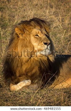 vigilant male lion resting in the open grassland showing a head and mane full of hair
