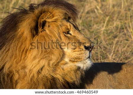 vigilant male lion resting in the open grassland showing a head and mane of hair