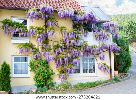 Village house with blooming wisteria. - stock photo