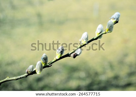 VILNIUS, LITHUANIA - MARCH 17: Branch with buds - spring in Vilnius city on March 17, 2015, Vilnius, Lithuania. - stock photo