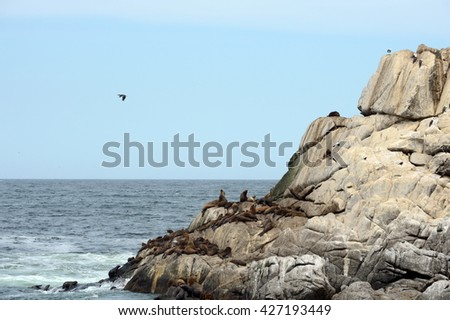 VINA DEL MAR, CHILE - NOVEMBER 24,2014: A rookery of southern sea lions in Vina del Mar.