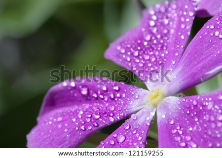 vinca with drops of dew. - stock photo