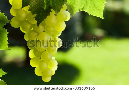 Vine and bunch of white grapes in garden - stock photo