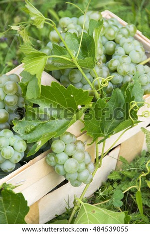 Vine and bunch of white grapes in wooden box