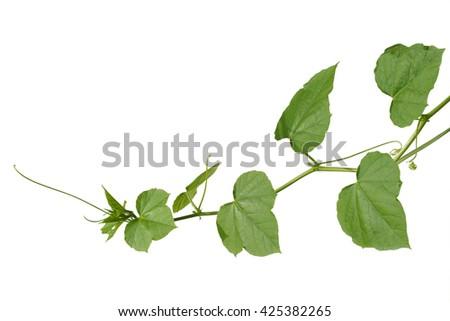 Vine Branch, Vine leaves on white background - stock photo